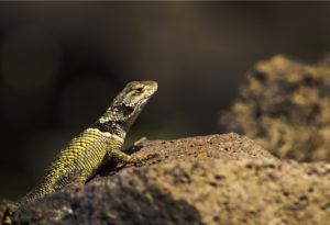 lizard1200