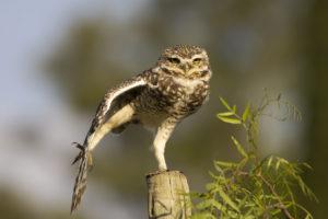 owl1200